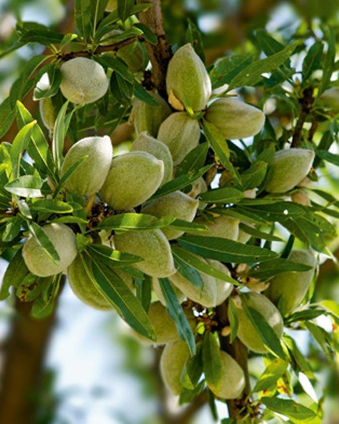black almond tree removal - HD1400×1753