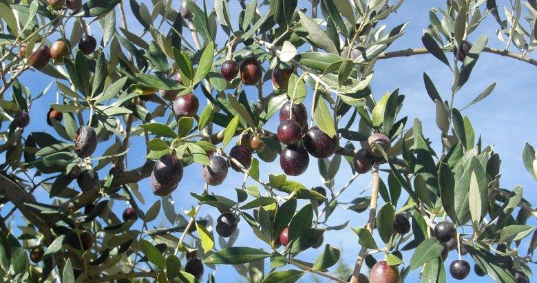 Zeytin yaprağı ile tatlı krizlerinin önüne geçmek mümkün!