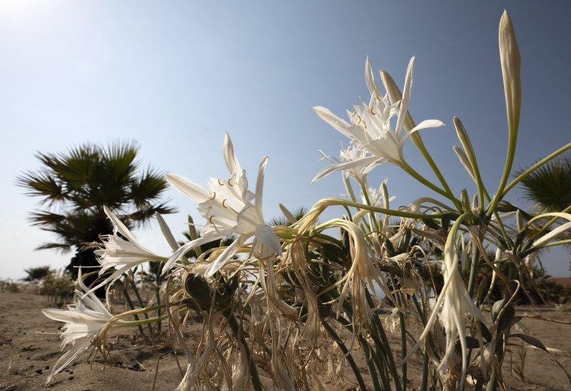 İzmir sahillerinin beyaz süsü kum zambakları