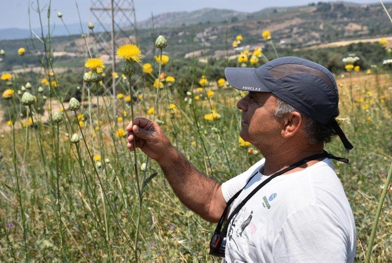 Bu bitki koparanın elini yakıyor! Aydın'da Tülüşah'a koruma kalkanı