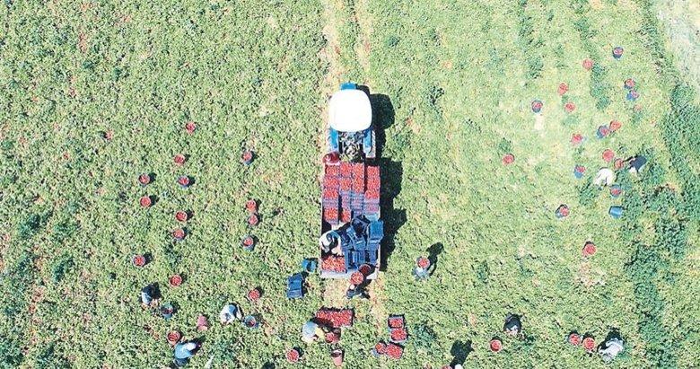Torbalı Ovası'nda domates hasadı