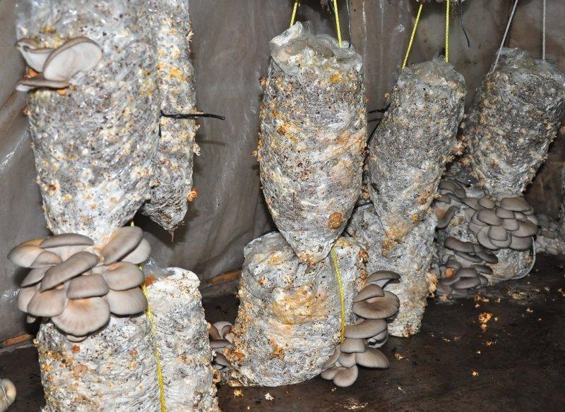 Hobi olarak başladığı mantar üretiminde taleplere yetişemiyor