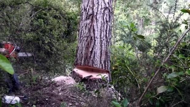 Kocaman ağaçtan bakın ne yaptı