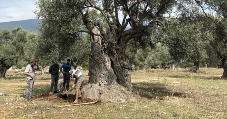 3 bin yıllık ağacın sır yaşını nükleer fizikçiler ortaya çıkardı