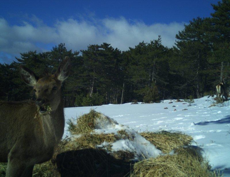 Kütahya'da kızıl geyiklerin beslenme anları fotokapanla görüntülendi