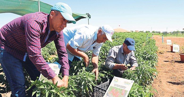 Emine Erdoğan'ın fideleri hasat edildi