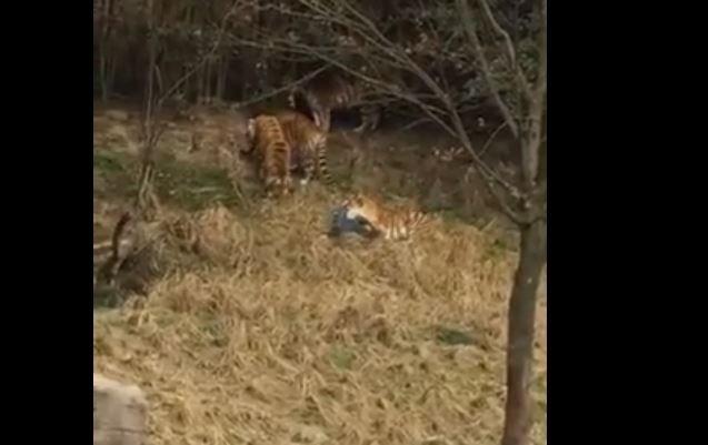 Hayvanat bahçesinde kaplana yem oldu! Dehşet dolu anlar saniye saniye kaydedildi