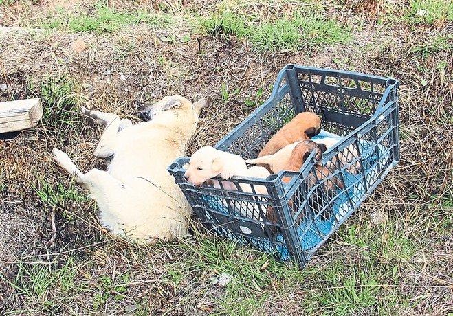 Gebe ve yavrusu olan köpekleri katlettiler