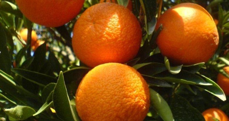 Köyceğiz Portakalı için coğrafi tescil çalışması başladı