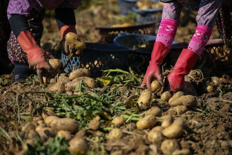 İzmir'de patates hasadı devam ediyor! Patatesin fiyatı hasatla düştü