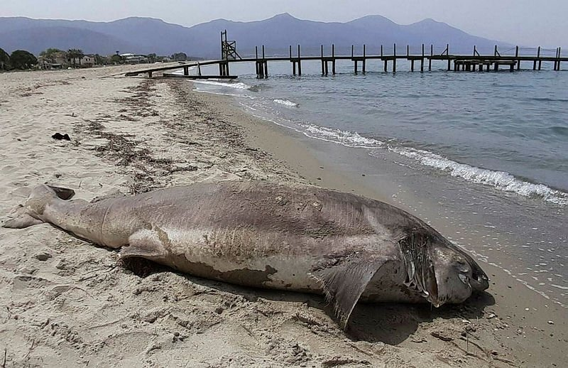 Boyu 3.7 metreyi geçiyor! Kuşadası'nda sahile vurdu...