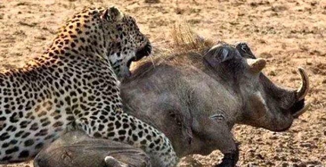 Leopar ile yaban domuzu mücadelesinde sürpriz son!