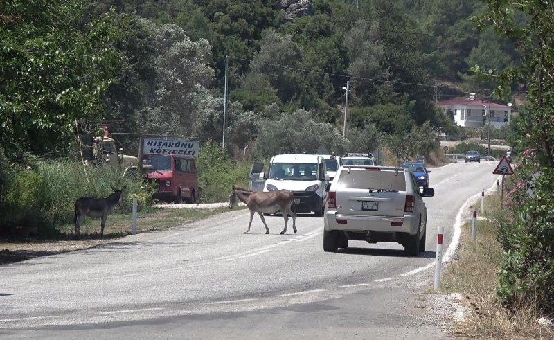 Marmaris halkı isyan etti! Başıboş dolaşan eşekler trafikte tehlike oluşturuyor! İşte o görüntüler...