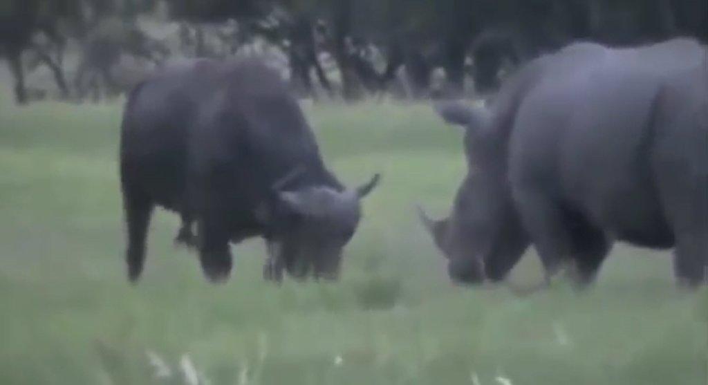 Vahşi doğada devlerin kapışması görenleri şoke etti!