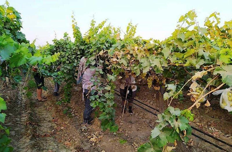 Manisa'da üzüm salkımlarına poşetli koruma