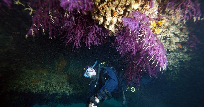 Nesli tükenmekte olan kırmızı mercanlar, Çanakkale Boğazı'ndaki batık gemilerde hayat buluyor
