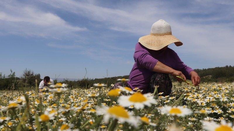 Tam bir şifa deposu! Denizli'de Mayıs papatyasında hasat zamanı