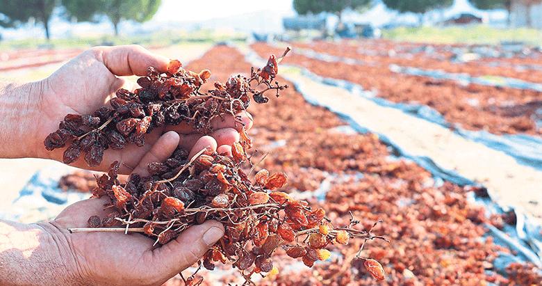Üzümler yüksek fiyat için sahada kurutuluyor