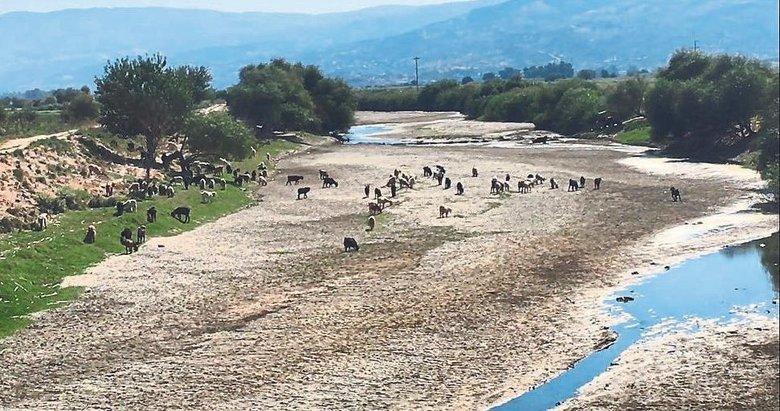 Kuruyan Menderes'te artık koyunlar otluyor