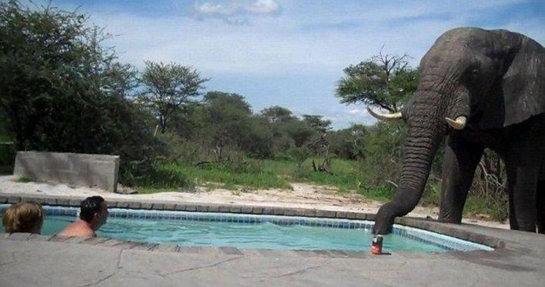 Havuzdayken hayatının şokunu yaşadı! Fil birden karşısına çıktı...