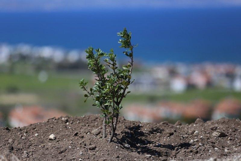 İzmir'de son 5 yılda 90 bin sakız ağacı fidanı to