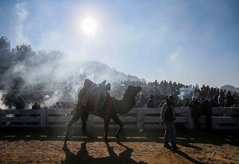 İzmir'de görenleri şaşırtan görüntüler! Vatandaşlar 38. Selçuk Efes Deve Güreşleri Festivali'ne akın etti