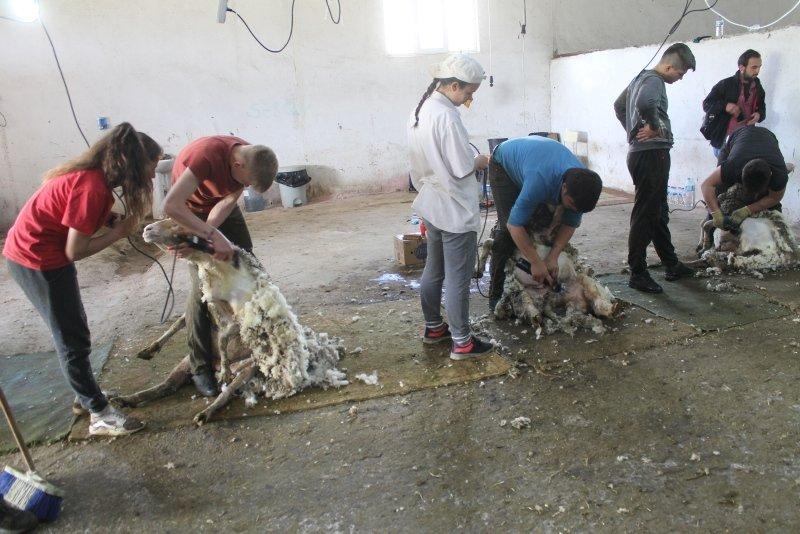 Balıkesir'de öğrenciler koyun kırkarak harçlıklarını çıkarıyor