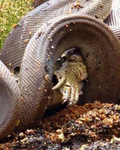 Dev piton timsahı canlı canlı yuttu
