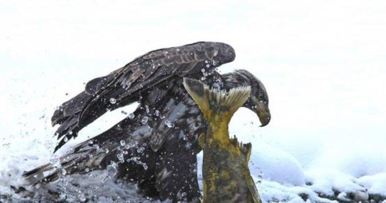 Kel kartalın somon avı saniye saniye görüntülendi