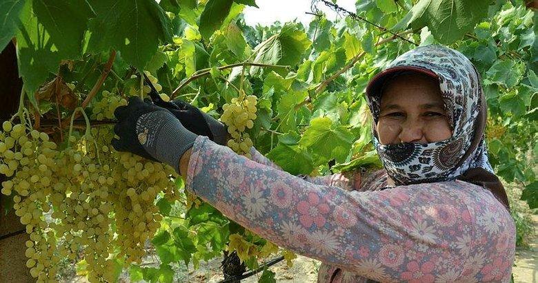 Dünyaca ünlü çekirdeksiz Sultani üzümde hasat başlıyor
