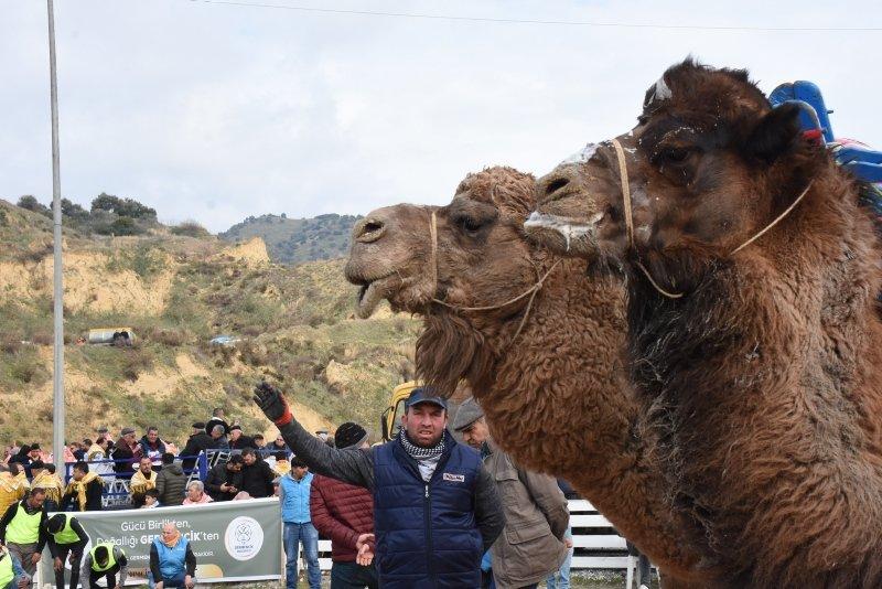 Pehlivan develer, kozlarını Germencik Arenası'nda paylaştı