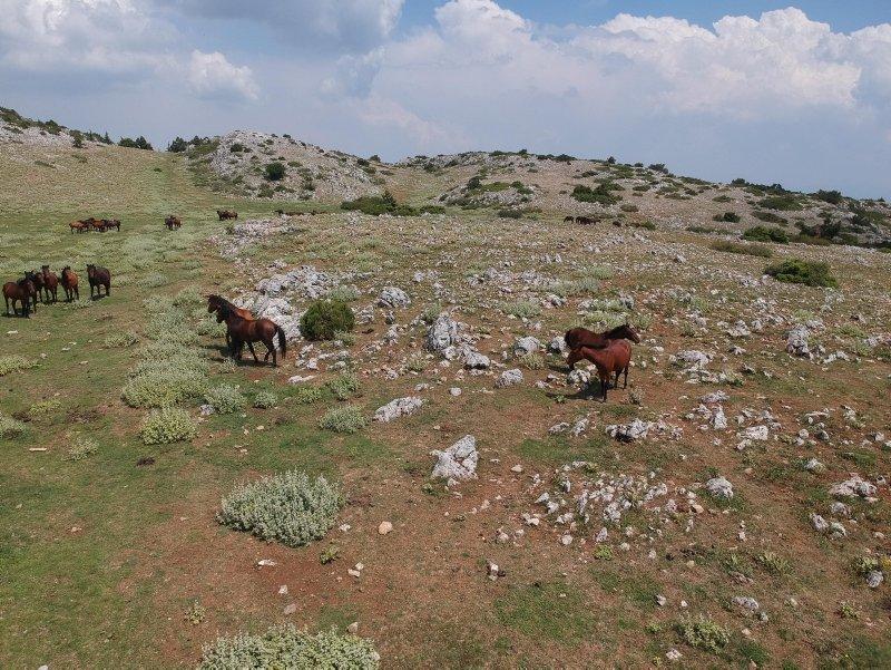 Spil Dağı'nın özgür sahipleri; yılkı atları