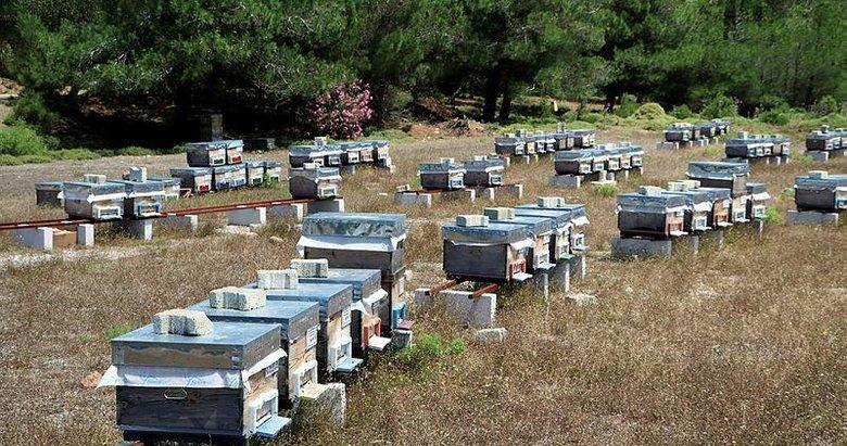 Gökçeada'da 'damızlık kraliçe arılar' üretiliyor