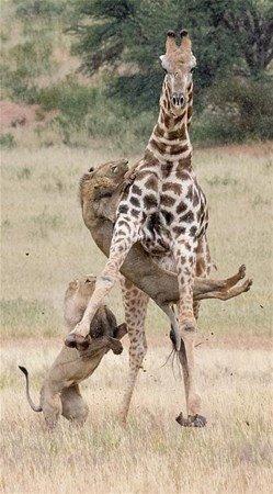 İki aslan dev zürafayı gözüne kestirirse...