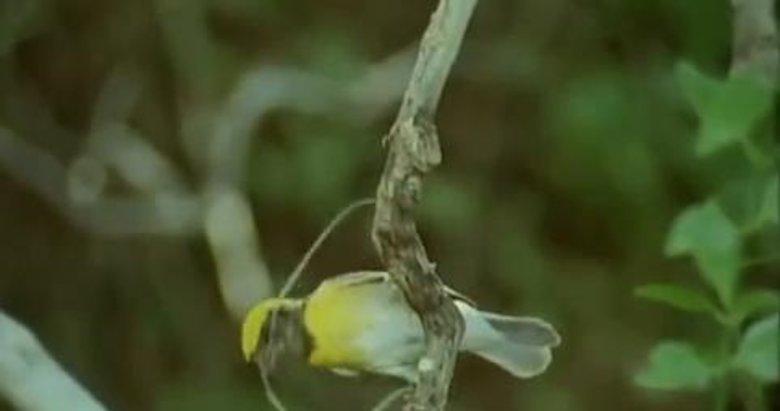 Kuş yuvasını böyle yaptı