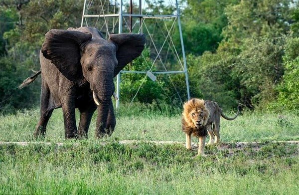 Sürüden atılan aslanın son anları! Yürek yakan kareler...