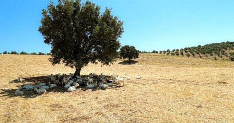 Manisa'da ilgi çeken görüntü! Bir ağaç 50 keçiye gölge oldu
