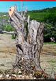 Urla'da zeytin katliamı
