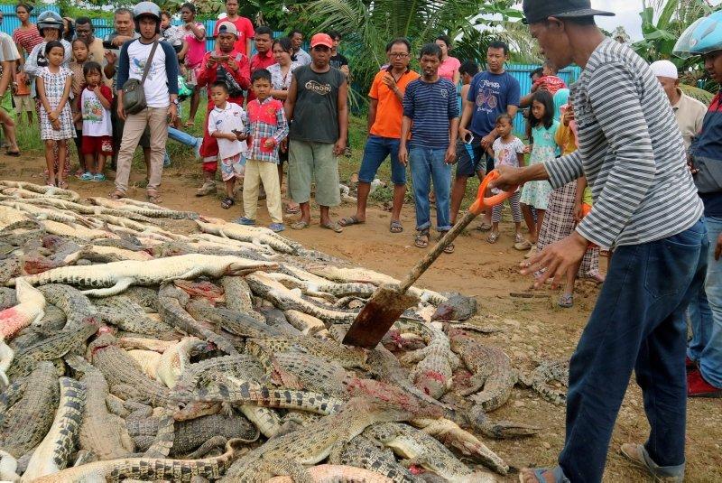 Endonezya'da timsah katliamı!