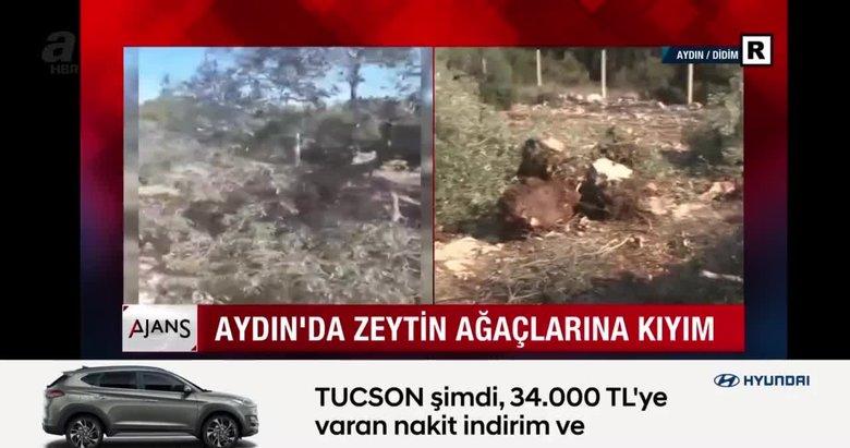 Aydın'da zeytin ağaçlarına kıyım! CHP'li belediyeden çevre katliamı