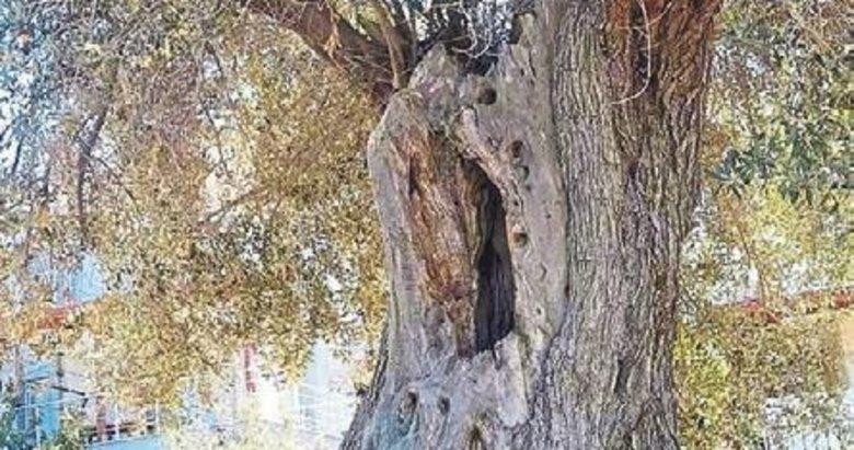 Zeytin ağaçları kaderine terk edildi