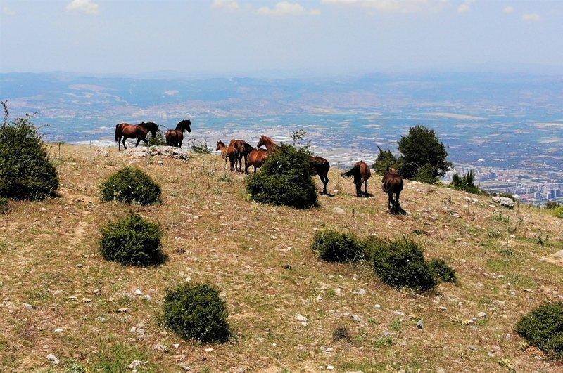 Spil Dağı'nın özgür bekçileri yılkılar havadan görüntülendi