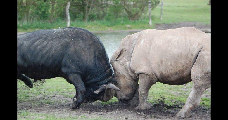Bufalo ve gergedan boynuz boynuza! Nefes kesen çarpışma
