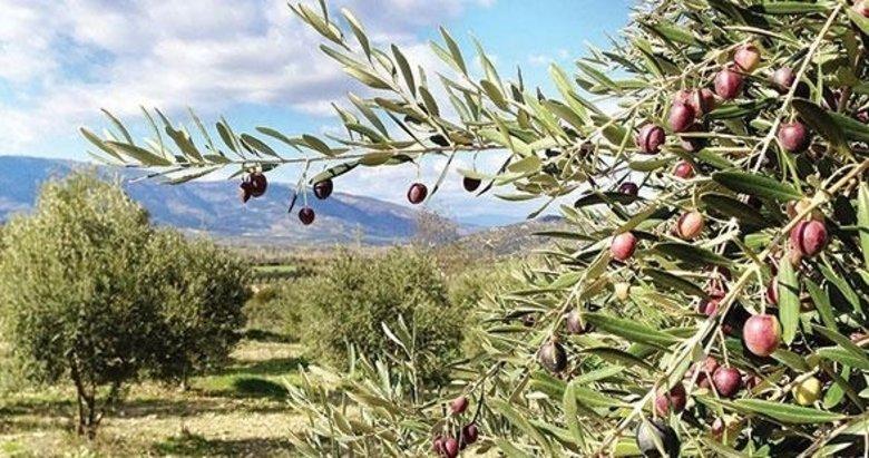 Akhisar'da satılık zeytinli bağ