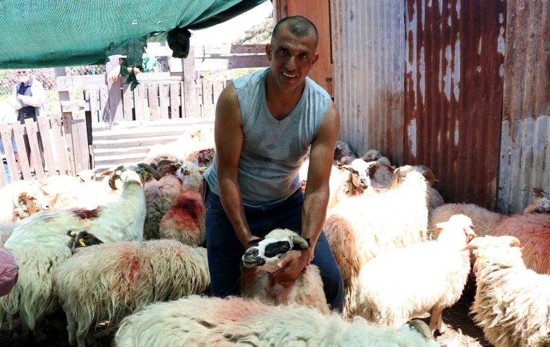 Gökçeada'nın özgür koyunları! Kırkıldı, boyandı, küpelendi