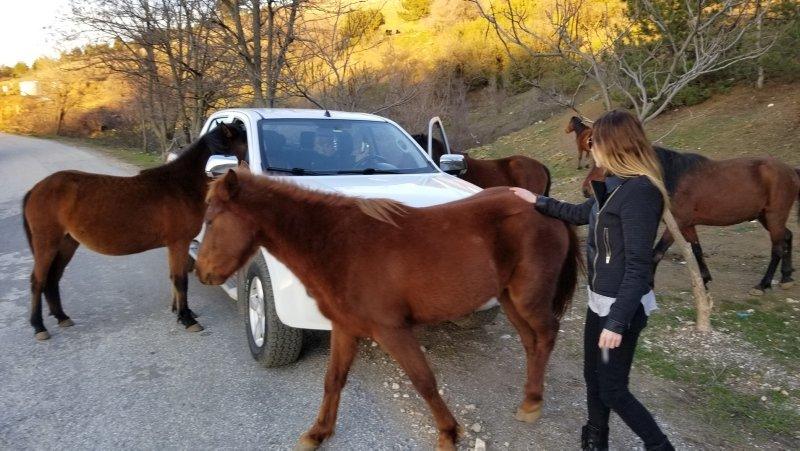 Manisa Spil Dağı'nda yılkı atları araçların etrafını sardı