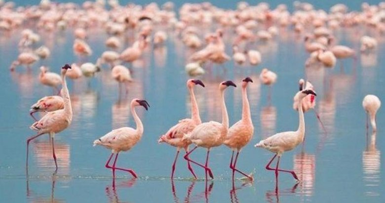 İzmir'de halkalanan flamingolardan ilk haber