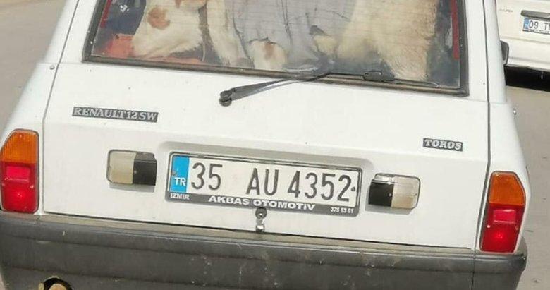 Manisa'da bir kişi hasta buzağıyı otomobille veterinere götürdü
