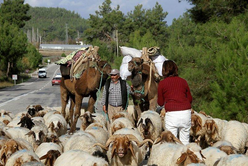 Görenler durup telefonuna sarıldı! Muğla'da develi, eşekli Yörük göçü