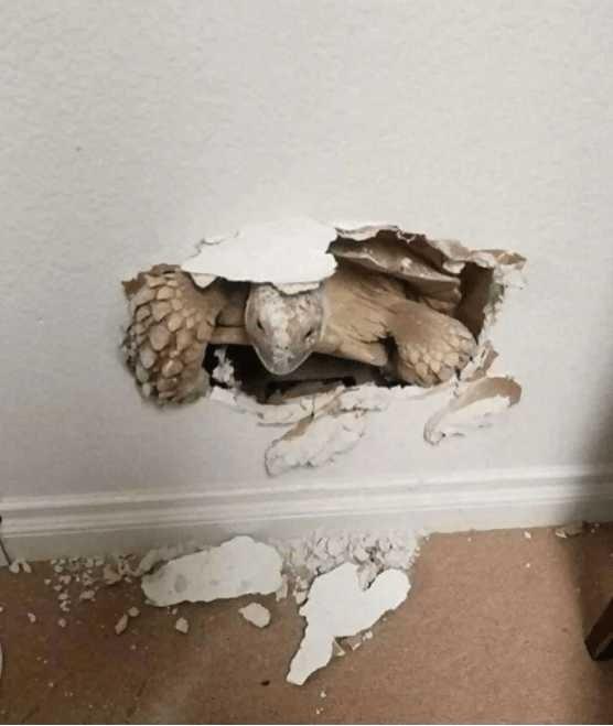 Duvarın arkasından çıktı! Şaşkına çeviren görüntü...